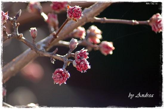 Winterschneeball - Viburnum